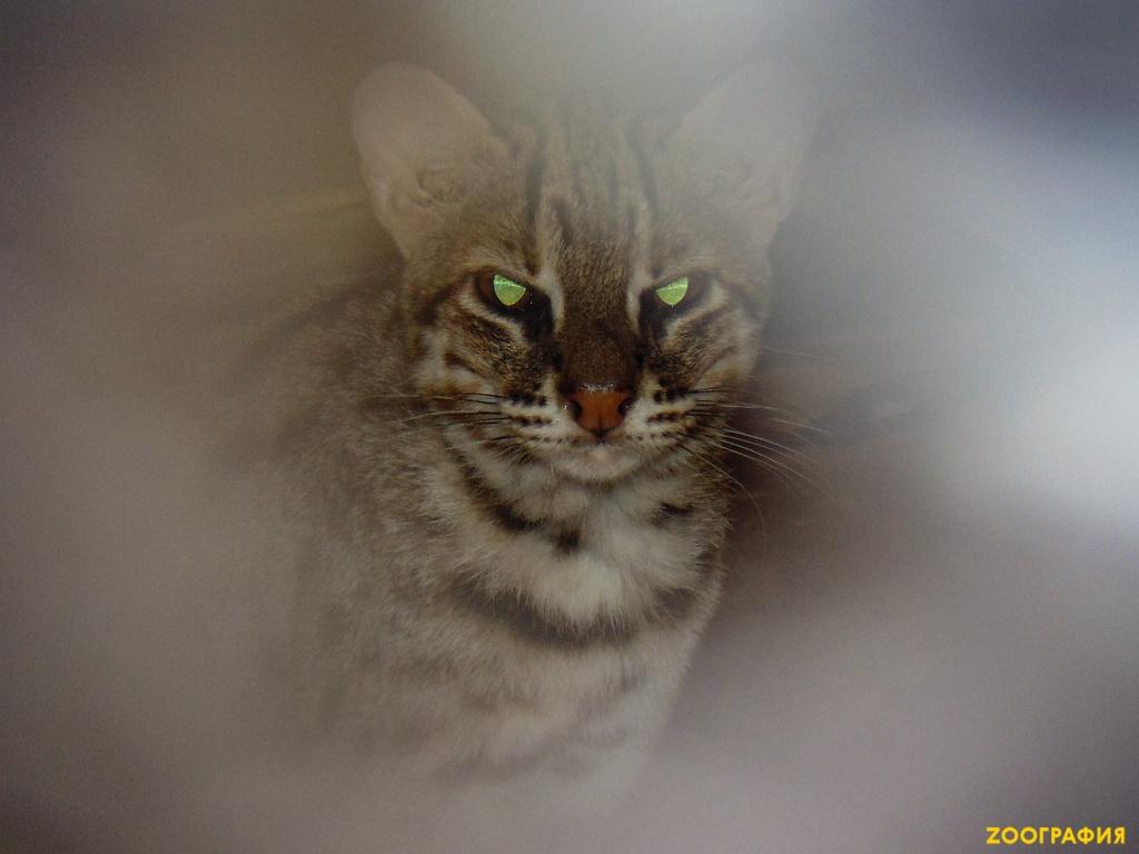 Сундаландская или яванская кошка